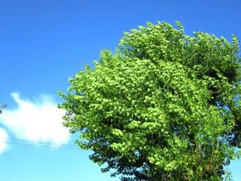 風になびく木